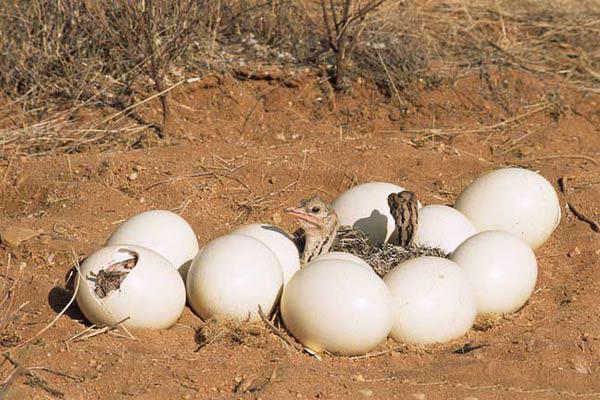 فروش اینترنتی تخم شتر مرغ