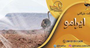 فروش جوجه شترمرغ در مشهد