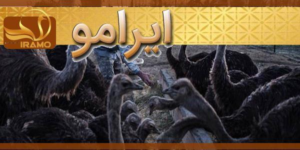 بزرگترین مزرعه پرورش شترمرغ مشهد