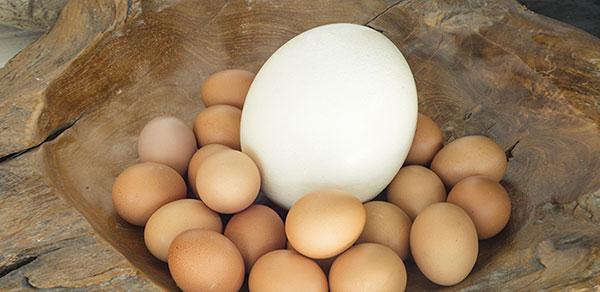 تخم شترمرغ نطفه دار