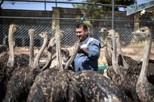 قیمت استثنایی شترمرغ مولد
